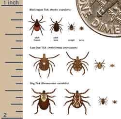 Measuring ticks